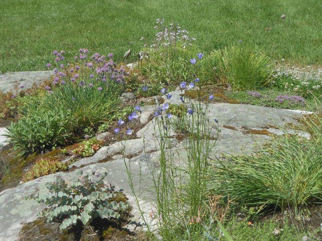 Harebells and hairy beardtongue in rock garden