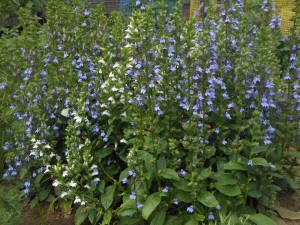 Great blue lobelia in the garden at Beaux Arbres.