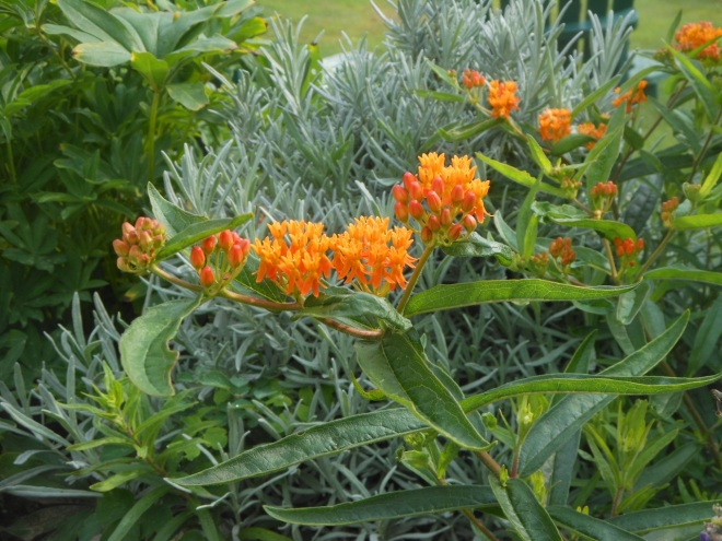 Butterfly milkweed (Asclepias tuberosa): bright orange flowers and a medium height make it ideal for a sunny border.