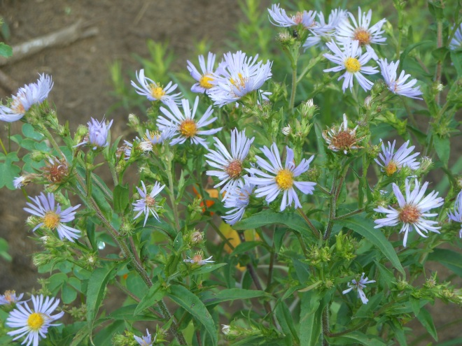 Swamp aster or purple-stemmed aster in the swale garden.
