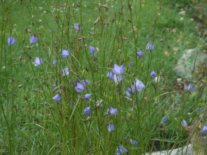 Harebells (Campanula rotundifolia) have been blooming continuously since the beginning of July in the rock garden.