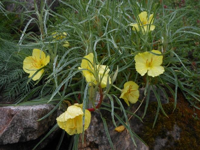 Oenothera fremontii